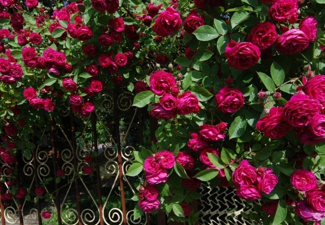 Hot Pink Rose Bush climbing on an iron fence - growing Roses on fence