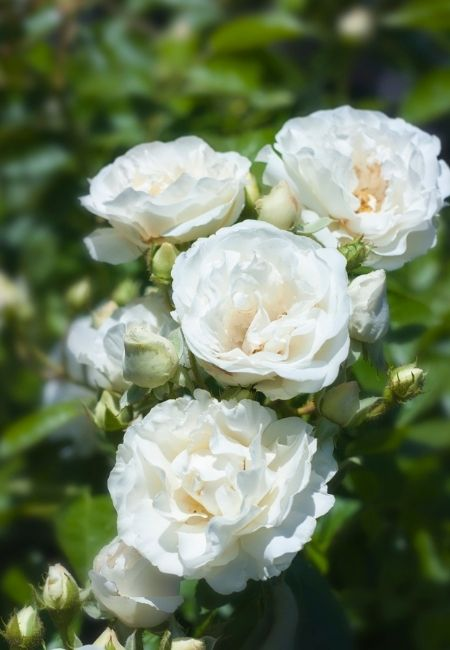 Close-up photo of white growing roses