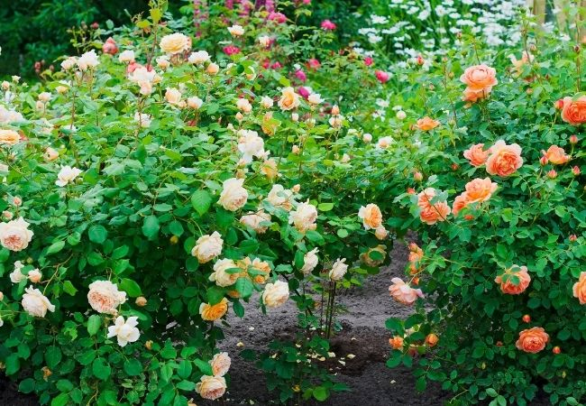 Multi-colored rose bushes growing in a garden