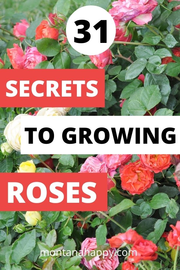 Multi-colored rose bushes with text overlay that says 31 Secrets to Growing Roses montanahappy.com - Pin for Pinterest