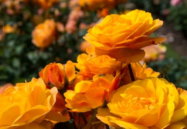 Golden colored rose bushes growing roses in the sunshine