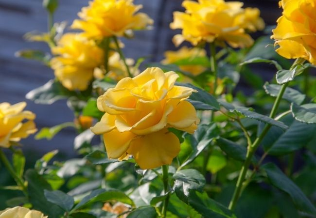 Yellow rose bush - 31 Secrets to Growing Roses