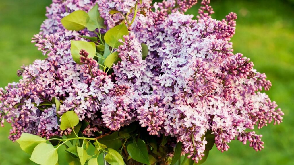 31 Ways to Hygge in the Spring - Lilacs in a Vase