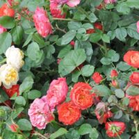 How to Grow Roses - Rose bushes with yellow, pink, orange, and red flowers