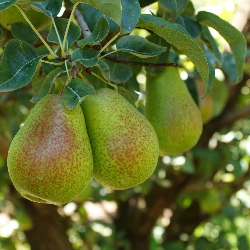 How to Create a Backyard Orchard - Pear Tree