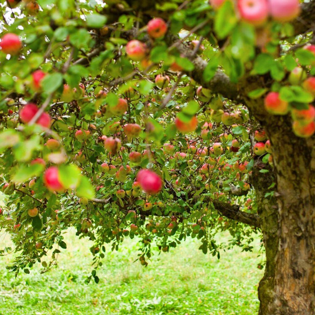 Planning Your Backyard Orchard - Beginner's Guide - Apple tree full of ripe apples.