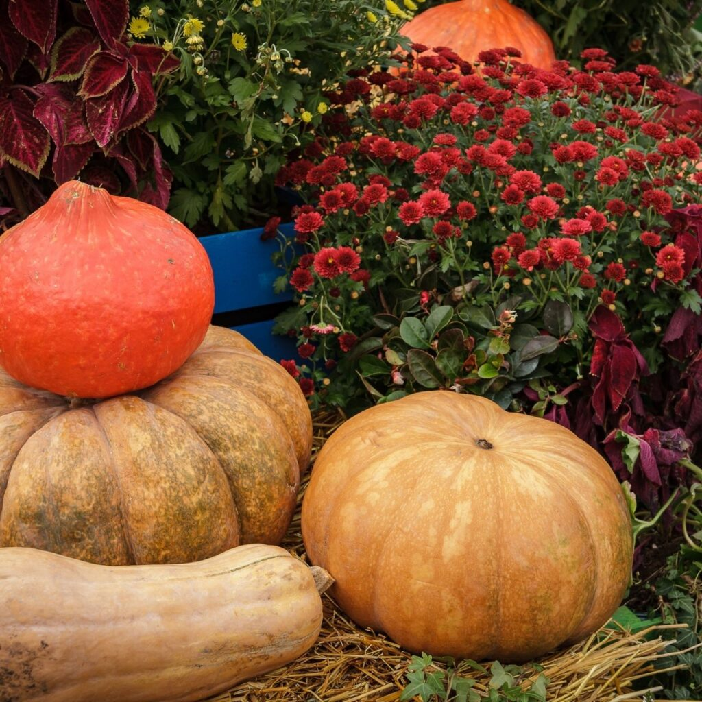Pumpkins, squash, and gourds nestled among mums.