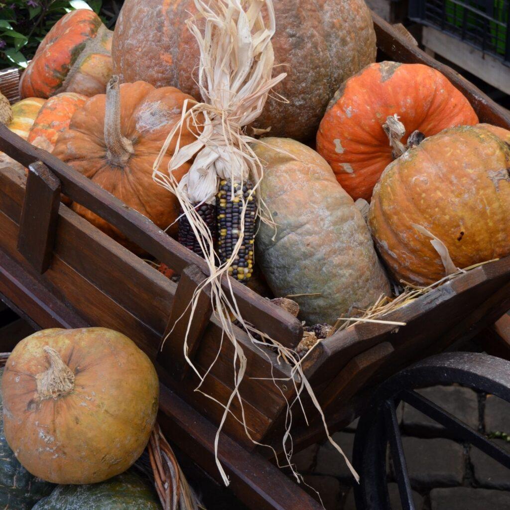 A wheelbarrow holds a pile of pumpkins and Indian corn