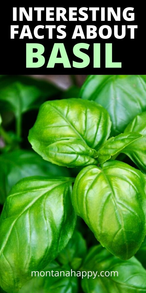 Interesting Facts About Basil Pin for Pinterest - close-up of basil plant